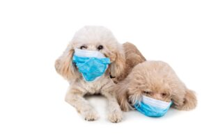 pet-dog-poodle-with-face-mask
