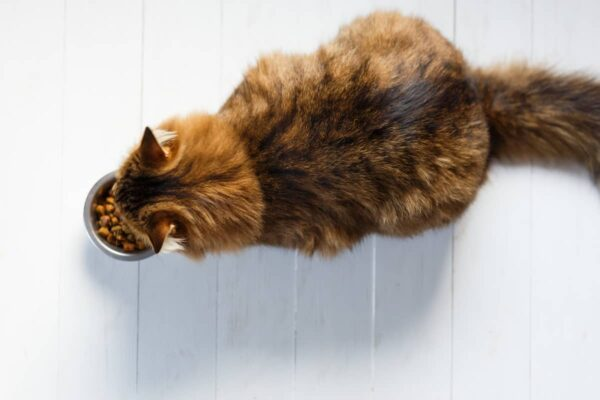 How Much Should a Cat Weigh? Determining the Ideal Weight for Your Cat